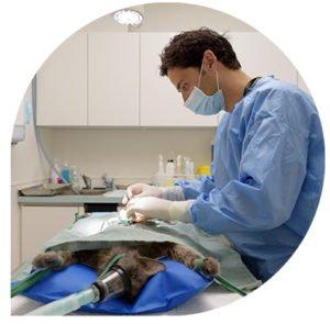 chirurgie du chat - clinique veterinaire leonis